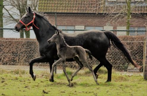 Zwart dressuurpaard