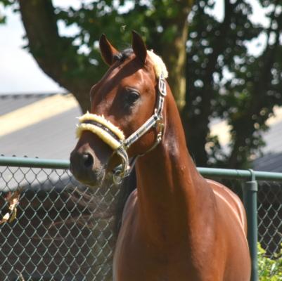 BRP pony