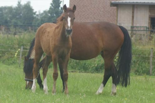 Ponyveulen