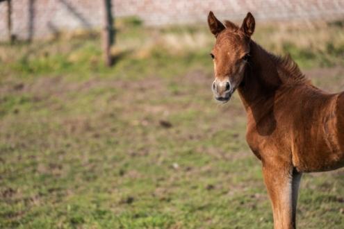 Pony hengstenveulen